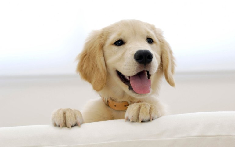 golden_retriever_puppy-wide