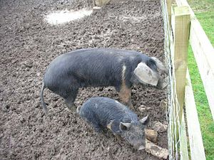 300px-Pigs_in_Mud_-_geograph.org.uk_-_345571