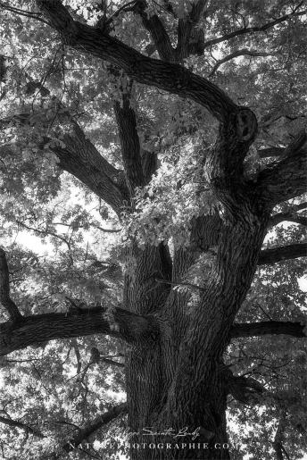 www-naturephotographie-com-chene-majestueux
